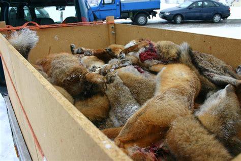 fox cruelty animals hunting germany week hunt foxes animal serbiananimalsvoice zoo graphic pose hunter human save serbian sav voice many