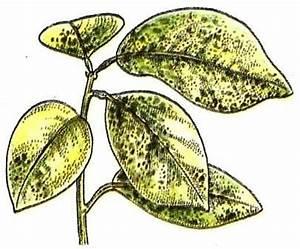 Schädlinge Zimmerpflanzen Klebrige Blätter : symptome und ursachen pflanzen gesund erhalten ~ Lizthompson.info Haus und Dekorationen