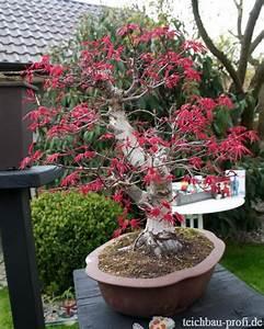 Roter Japanischer Ahorn : bonsai japanischer ahorn ~ Frokenaadalensverden.com Haus und Dekorationen