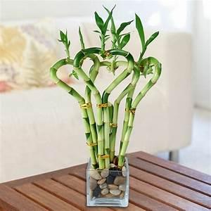Bambus Pflege Zimmerpflanze : die besten zimmerpflanzen ~ Frokenaadalensverden.com Haus und Dekorationen
