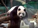 大貓熊寶寶──「圓寶」 有望年底正式亮相與群眾相見歡   蕃新聞