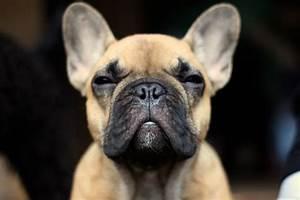 French Bulldog HD Wallpapers
