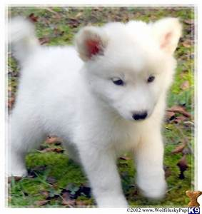 white husky wolf mix Quotes