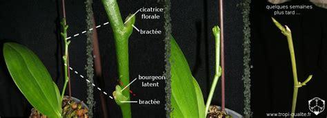 tailler une orchidee en pot cultiver les phalaenopsis tropi qualit 233