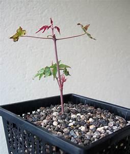 Ahorn Vermehren Steckling : bonsai alle arten und sorten beliebte pflanzen ~ Lizthompson.info Haus und Dekorationen