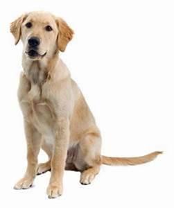 Golden Retriever / Labrador Retriever Mix | Animals ...