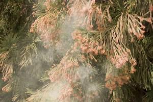 Record-Level Cedar Pollen Counts in Central Texas Leading ...
