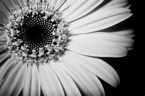 image  pixabay sunflower black  white