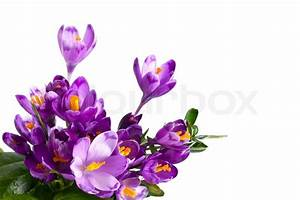 Spring holiday crocus flowers isolated on white background ...