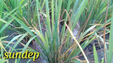 pengendalian hama sundepbeluk tanaman padi youtube