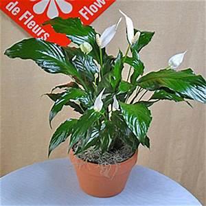 Fleur De Lys Plante : spathiphyllum pour une livraison montr al le pot de fleurs ~ Melissatoandfro.com Idées de Décoration