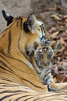 images  tigers  pinterest baby tigers