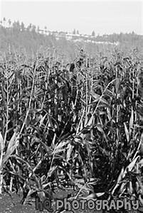 Corn Crops Growing in a Field | Black and White Photo