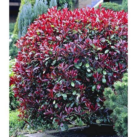 Kübelpflanzen Winterhart Immergrün by Photinia Hecke Robin 1 Pflanze Baldur Garten Gmbh
