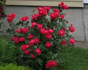 Lucy On Gardening  Pruning Knockout  Groundcover  U0026 Miniature Rose Shrubs By Diagram