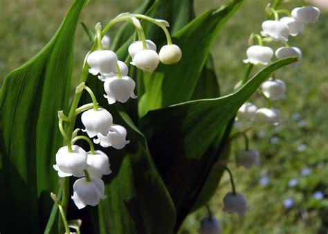 fiori di mughetto mughetto significato simbologia e linguaggio mughetto