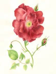 Rose Botanical Drawing
