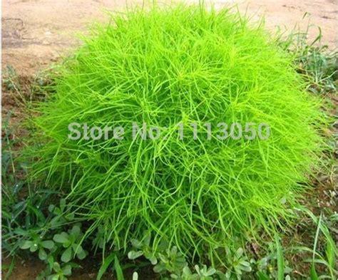 grass burning bush 2018 kochia scoparia seeds summer cypress seeds grass burning bush plant from liyanbing1957 1
