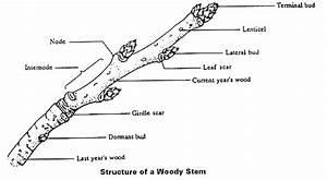 Roots  Stems And Leaves Diagrams