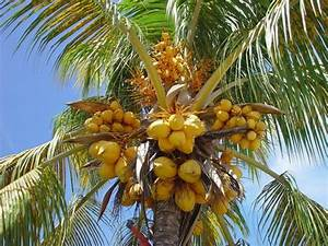 Noix De Coco Arbre  U00bb Vacances