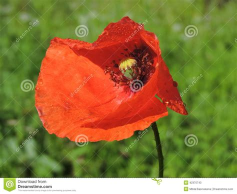 poppy bloom time red poppy bloom stock photo image 42370743
