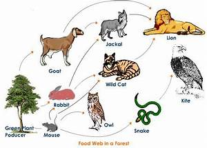 Food Web | Trophic Levels | Food Web Explained with ...