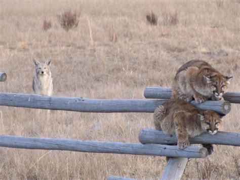 picture juvenille mountain lions fence coyote