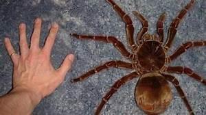 Faire Fuir Les Araignées : la plus grosse araign e fait 30 centim tres ~ Melissatoandfro.com Idées de Décoration