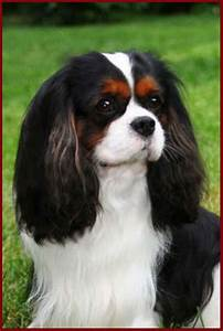 Gorgeous Tri Colored Cavalier King Charles Spaniel...love ...
