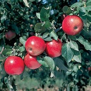Starkspur U00ae Winesap Apple - Apple Trees