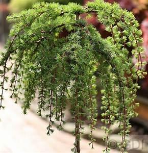 Winterharte Kübelpflanzen Hochstamm : hochstamm japanische l rche stiff weeper larix kaempferi ~ Michelbontemps.com Haus und Dekorationen