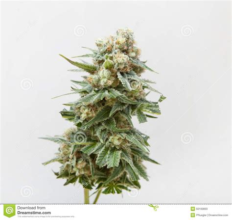 de chanvre fleur de chanvre moissonn 233 e photo stock image 50100833
