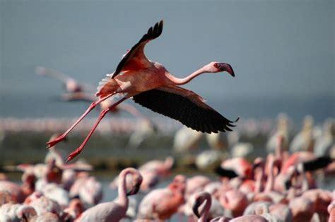 do flamingos fly lesser flamingo flying at lake nakuru flamingo facts and information