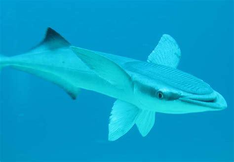 echeneis neucratoides aka shark suckers  remora