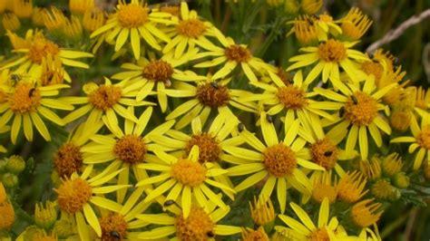 common ragwort  wildlife trusts