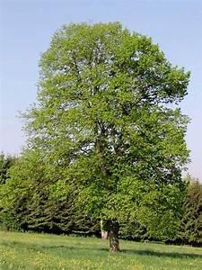 Baumhoroskop Berechnen : linde baumhoroskop 4you ~ Themetempest.com Abrechnung
