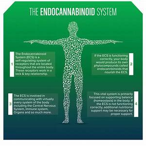 A Simple Explanation Of The Endocannabinoid System