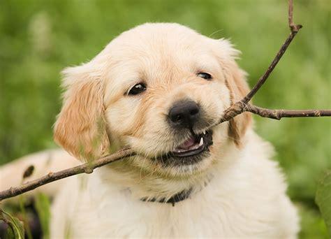 photo puppy golden retriever dog pet  image