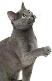russian blue cat personality the russian blue cat cat breeds encyclopedia