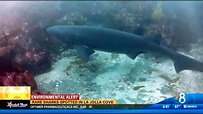 Rare sharks spotted in La Jolla Cove - CBS News 8 - San ...
