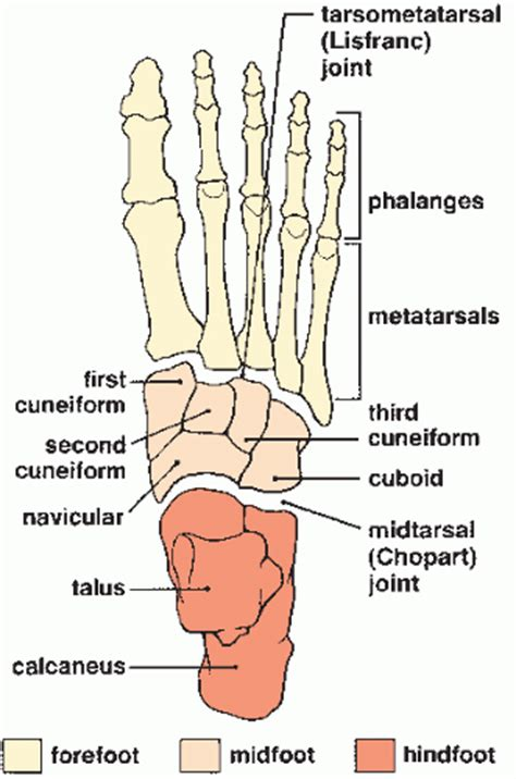 Lower Limb Iii Ankle And Foot  Radiology Key
