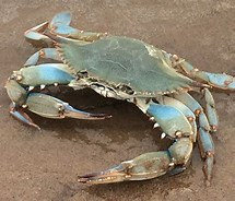 Image result for Blue Crab