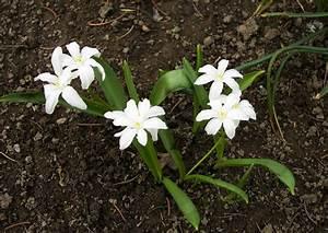 Weiße Dekosteine Garten : 04 11 im garten 17 zwiebelpflanzen weisse bl ten ~ Sanjose-hotels-ca.com Haus und Dekorationen