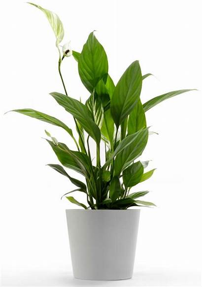 Lily Peace Indoor Spathiphyllum Plants Blooming Lirio