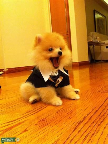 Pomeranian Cream Dog Dogs Breed