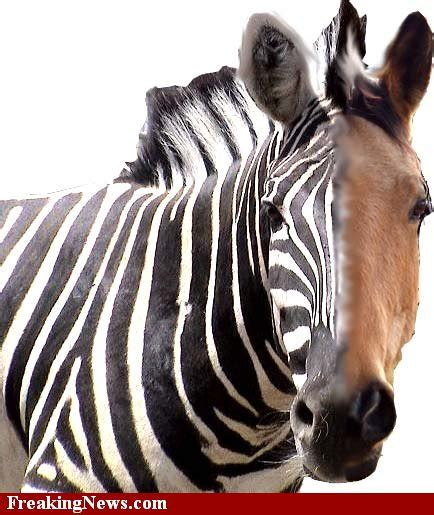 zebra horse between difference stripes horses zebras without animal differences word then different silly toed
