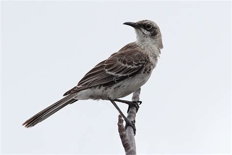 san crist 243 bal mockingbird wikipedia