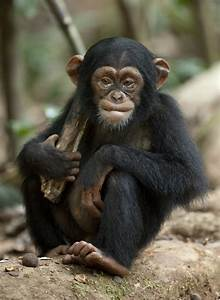 Review: Disneynature's Chimpanzee {See it This Weekend to ...