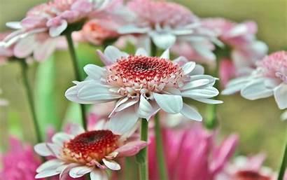 Pink Daisy Gerbera Gerber Wallpapers Nature Macro