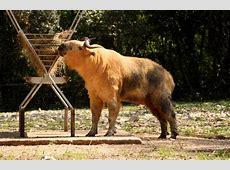 National Animal Of Bhutan Takin 123Countriescom